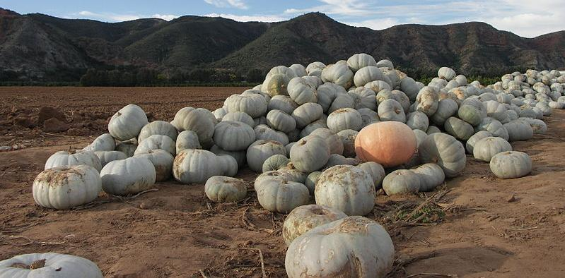Pumpkin harvest in South Africa