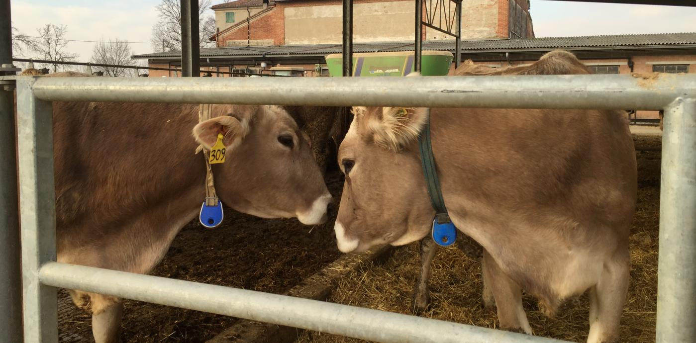 Cows at farmstead.jpg