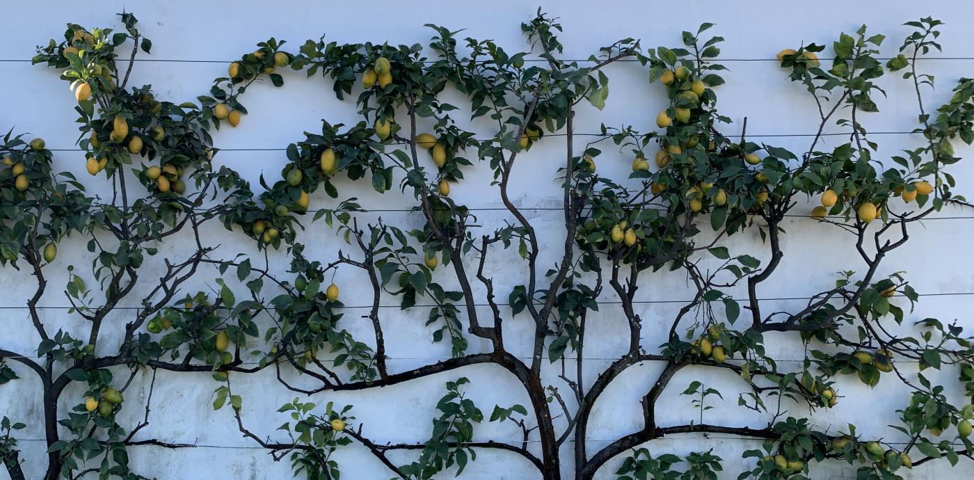 Lemons in Portugal