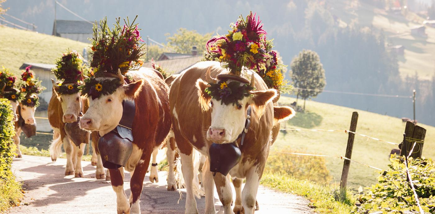 cows wearing flowers during alpine cow parade