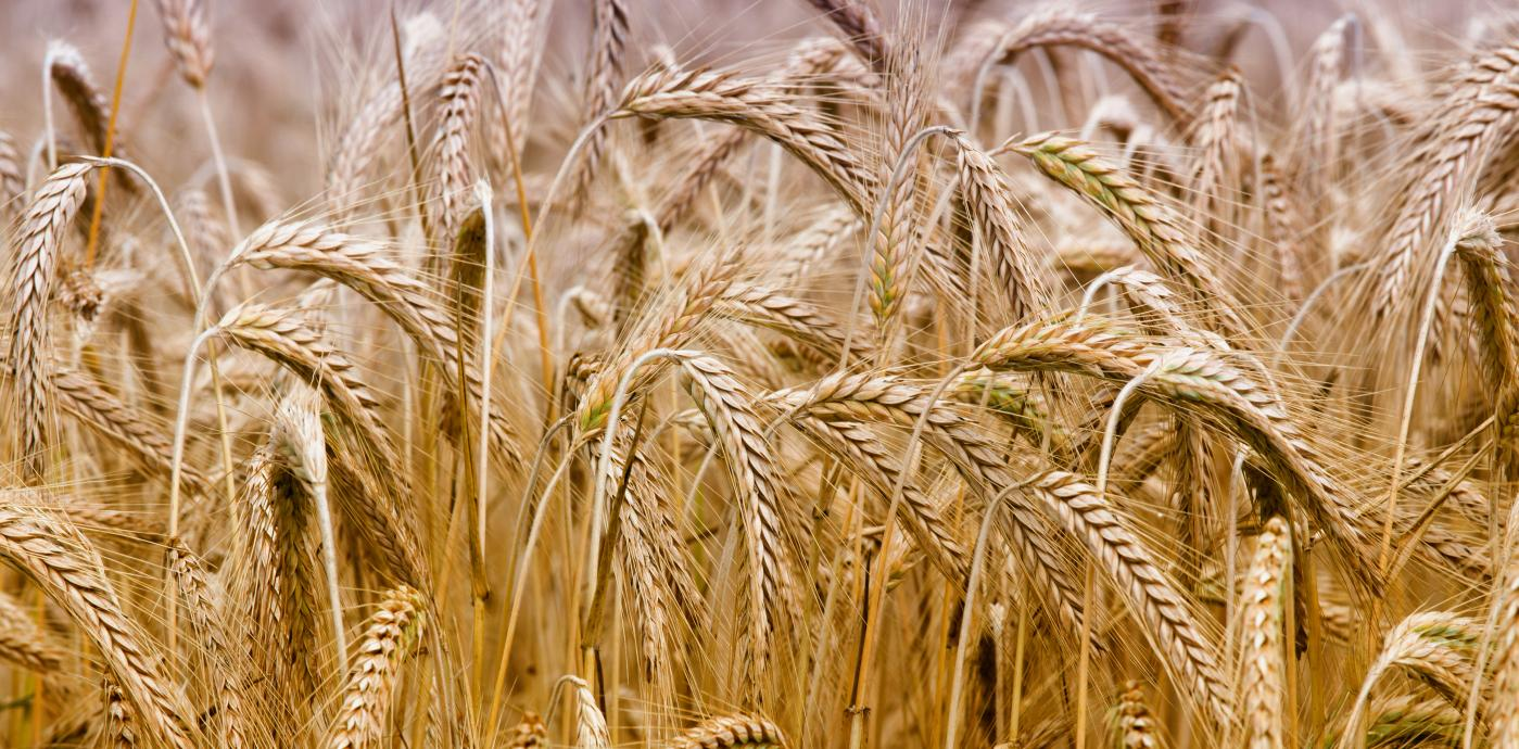 iStock-481095722-barley.jpg