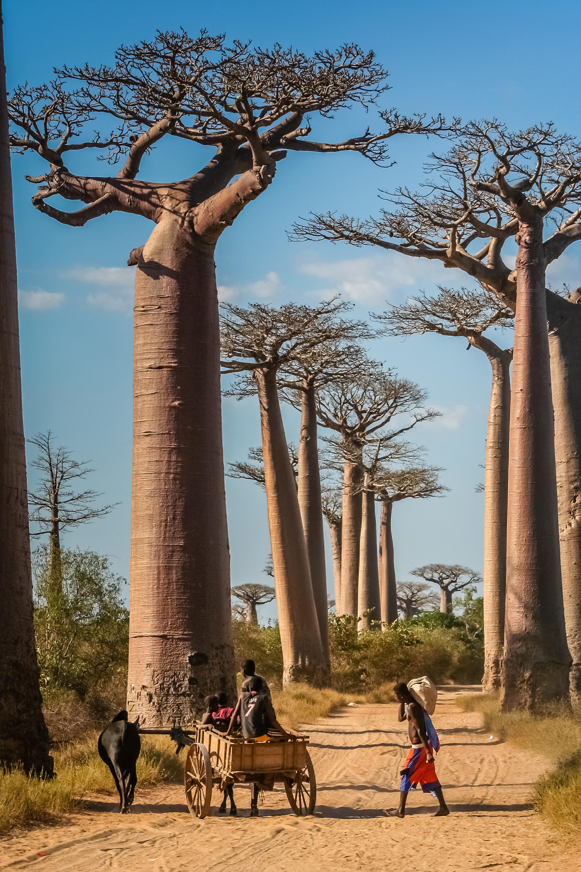 7-2_BaobabTrees.jpg
