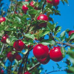 ApplesupHighFORWEB2.jpg