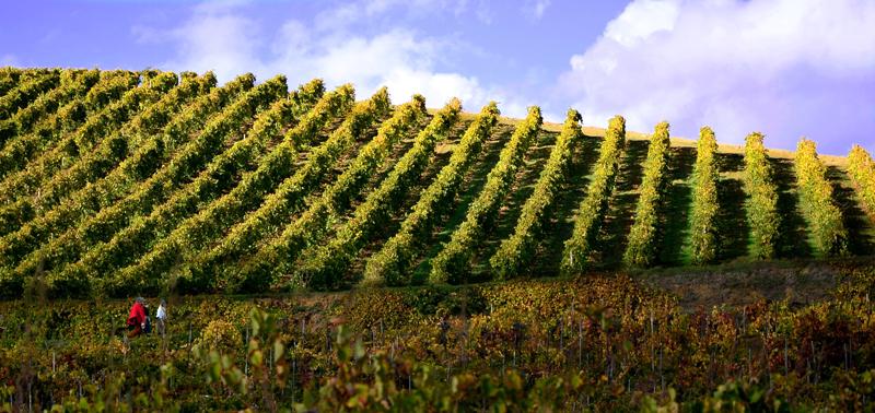 Culinaria-Sicily-vineyard.jpg