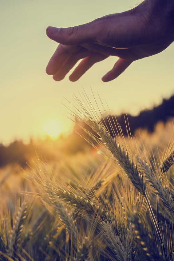 Fotolia_62072053_wheat-hand.jpg