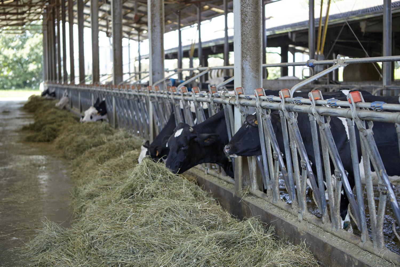 Parmigiano_Reggiano_cows.jpg