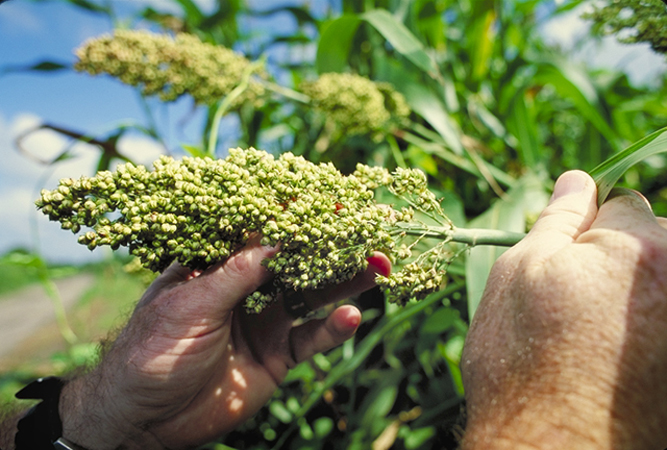 Two hands holding a sorghum plant in the field