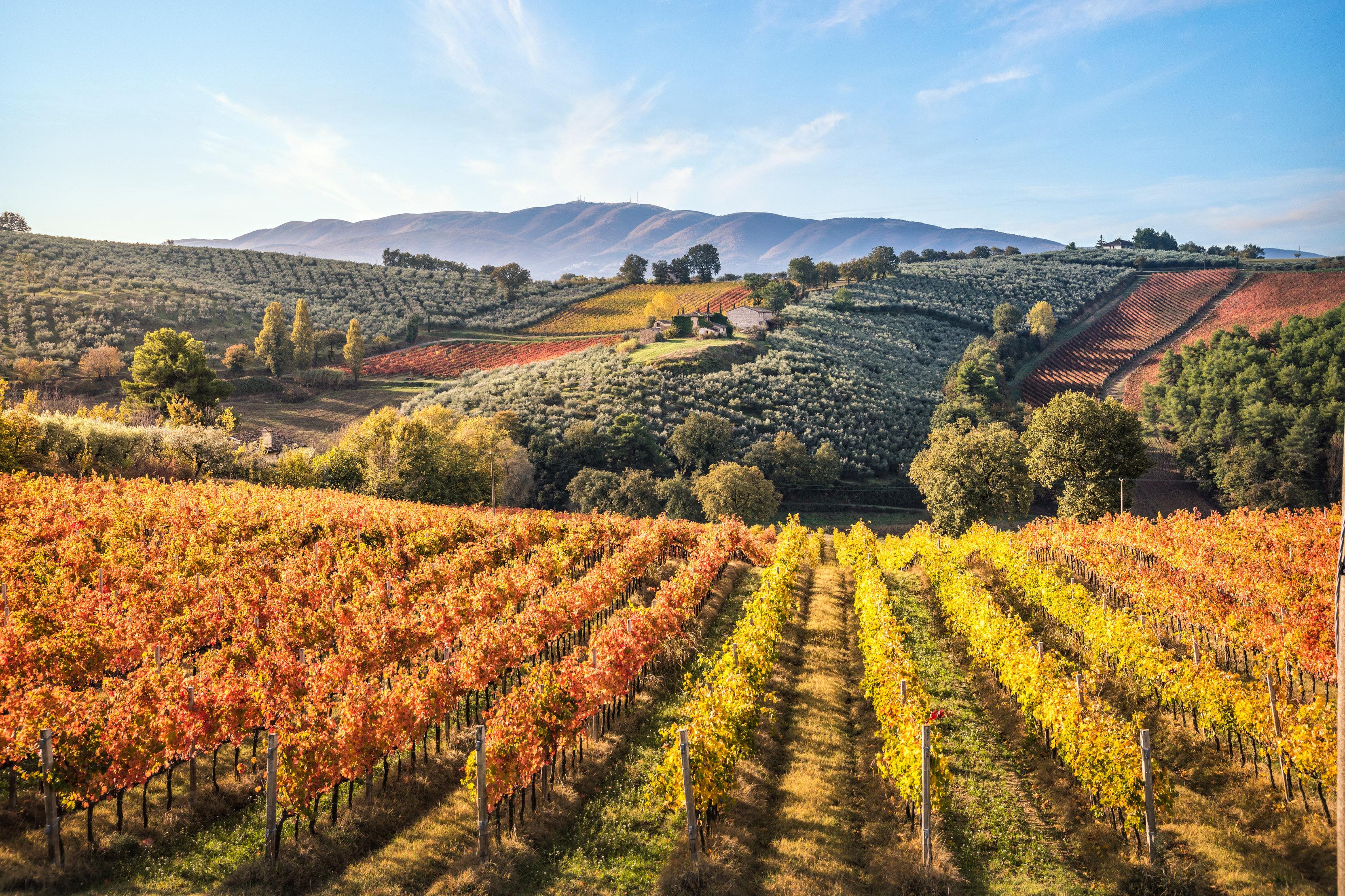 Vineyard in Umbria, Italy