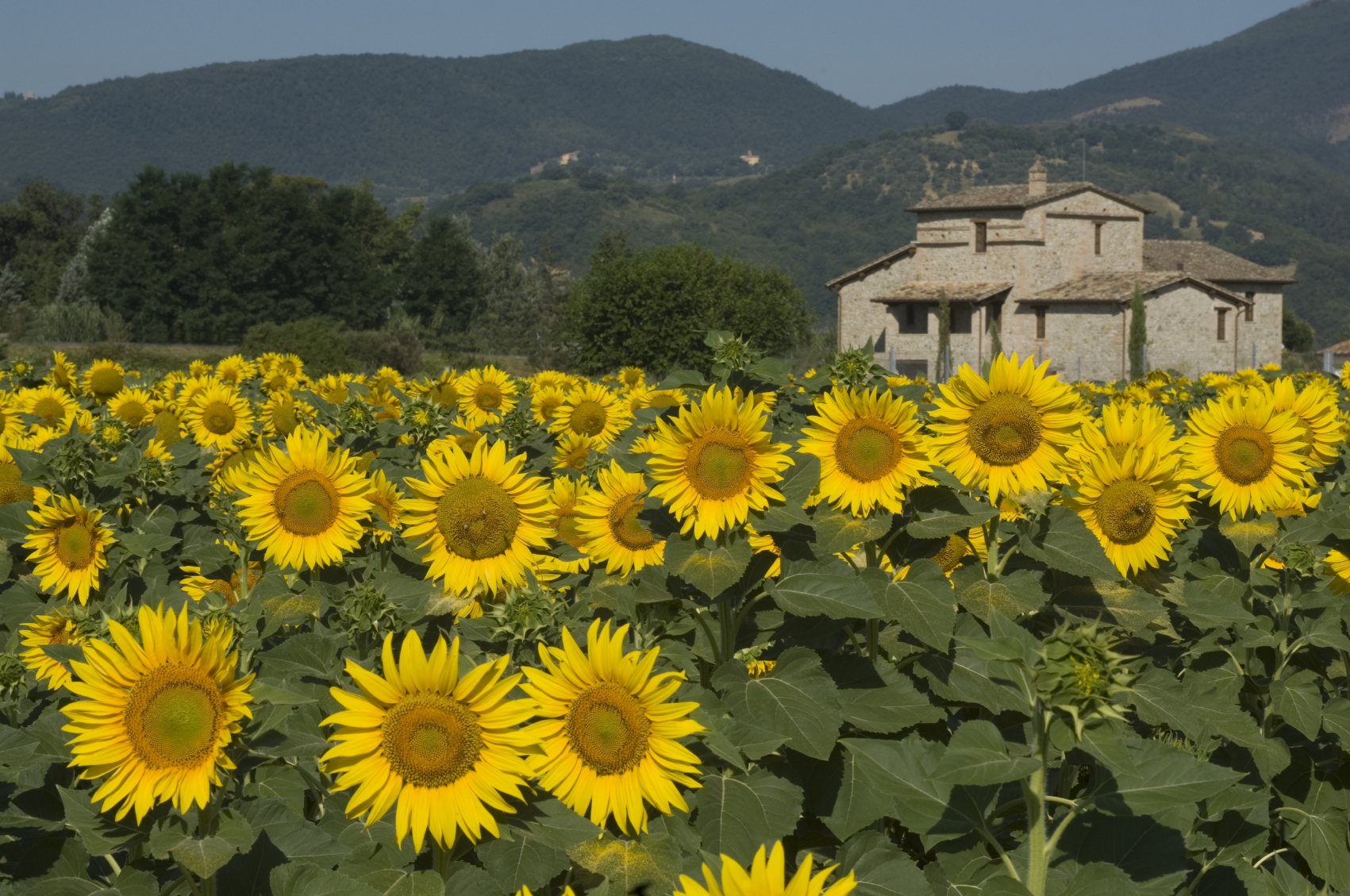 A view of Umbria with sunflowers in a field
