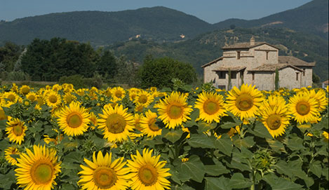 Umbria Sunflowers2.jpg