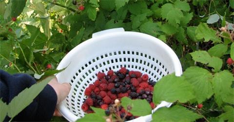 Colanderofberries.jpg