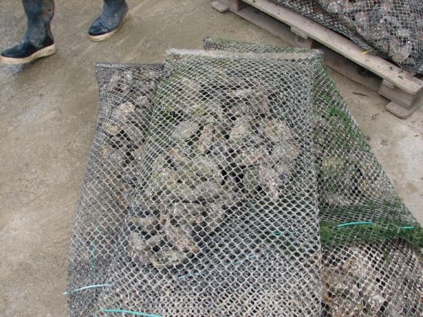 Oystersinbags.jpg